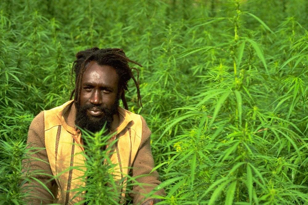 Guia jamaicano em plantação da erva  |  foto: reprodução internet