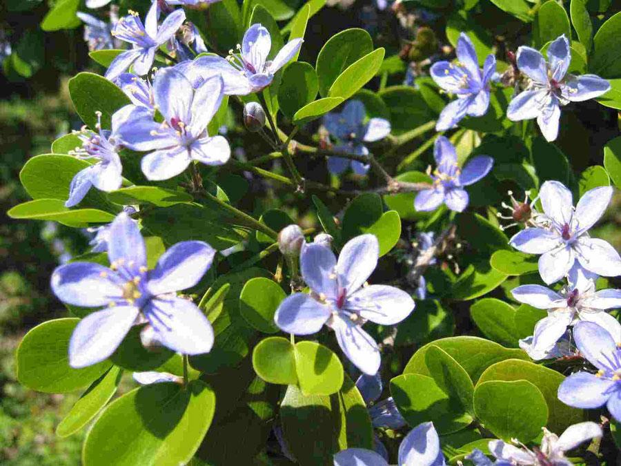 Outro símbolo nacional é a flor da Lignum Vitae. | foto: reprodução internet