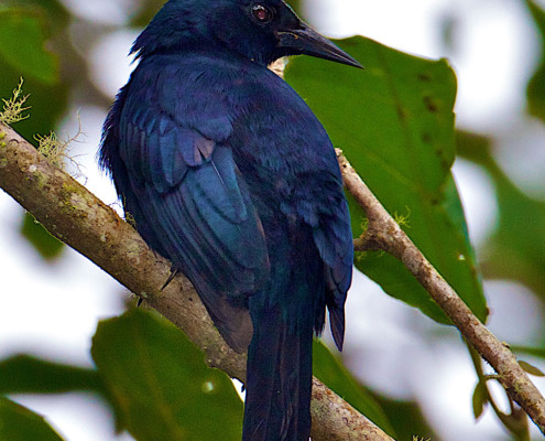 Jamaican Blackbird | foto: Lee Hunter | reprodução internet