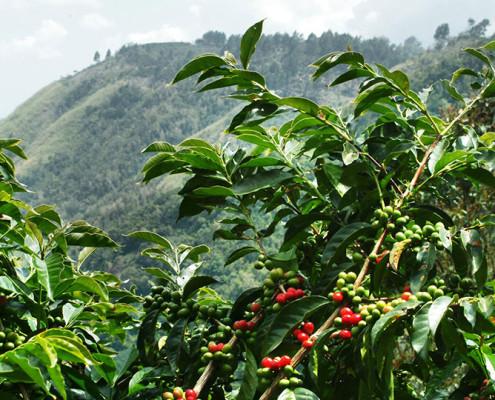 O Jamaica Blue Mountain Coffee é um dos cafés mais apreciados do mundo | foto: reprodução internet